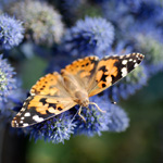 painted lady butterfly release inexpensive
