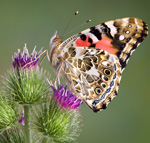 painted lady butterfly on thistle for releasing at funeral, memorial, and wedding